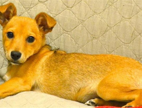 6-Month-Old Chihuahua Mix Needs Forever Home_-2661359308711507740