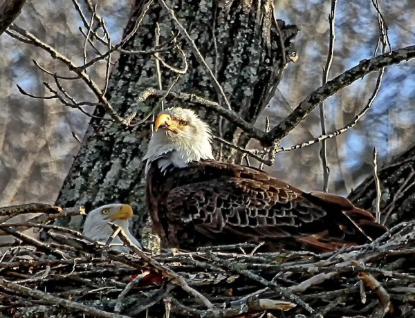 Bald Eagles in Nest_-7875057737111679250