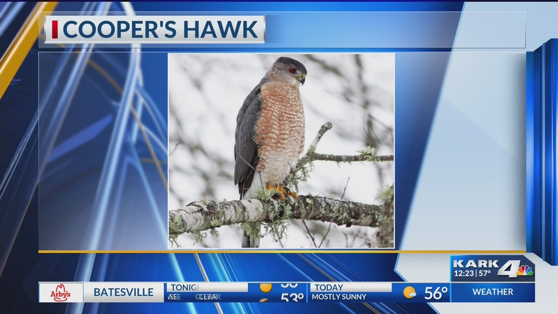 Cooper_s_Hawk_0_20181217182942