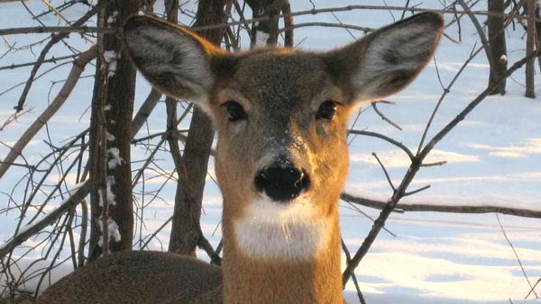 Deer generic_14687-873703986