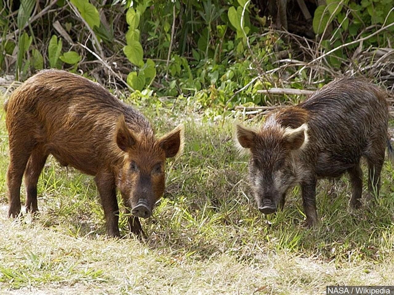 feral hogs (1)_1551753558810.jpg.jpg