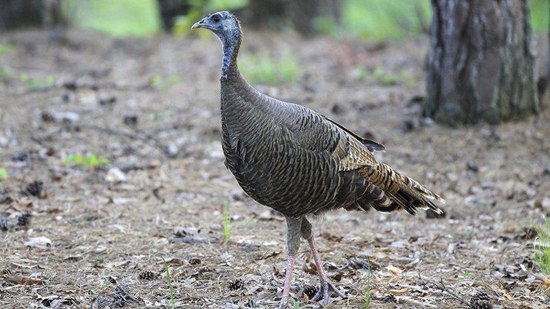 Turkey in Arkansas_1560366134804.jpg.jpg