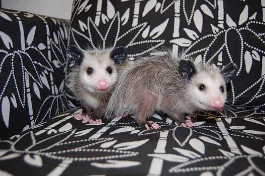 possums_1560811486647.JPG