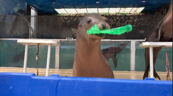 Digital Original: Sea Lions at the Fair are showing the importance of recycling